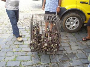 Captura de caranguejo em Paranaguá é fiscalizada pelo IAP