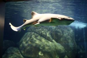 Tubarão-lixa será nova atração do Aquário de Paranaguá
